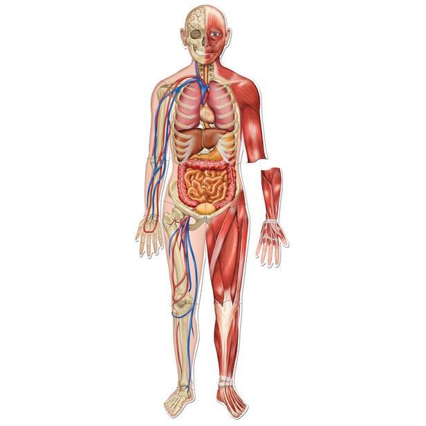 Set Magnetic Corpul Uman Bebeart